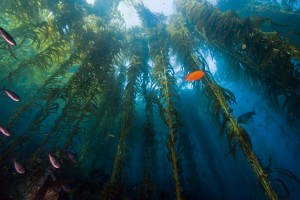 underwater photo of kelp forest from the ocean floor looking up towards the water surface with fish swimming through