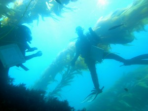 underwater photo looking upwards towards the water surface of 2 scuba divers with kelp in the background