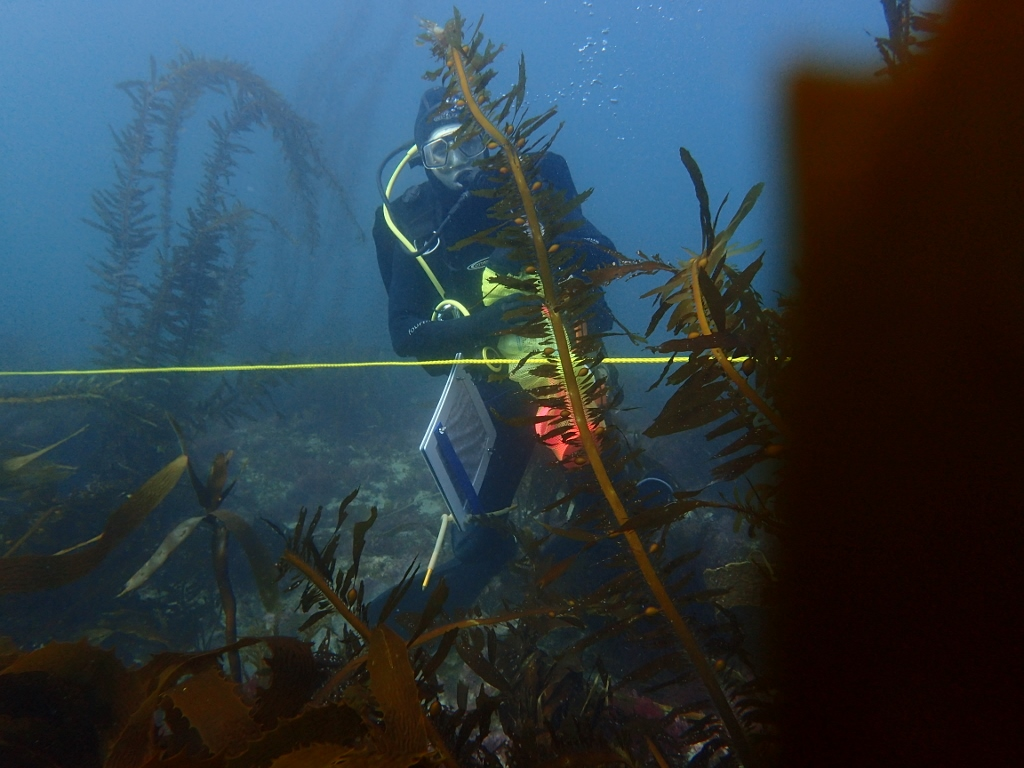 a scuba diver on a transect line counting kelp fronds